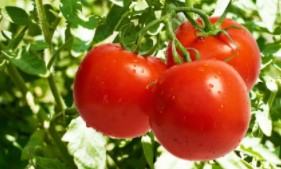 manfaat-memakan-buah-kersen