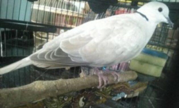 mitos-burung-puter-putih
